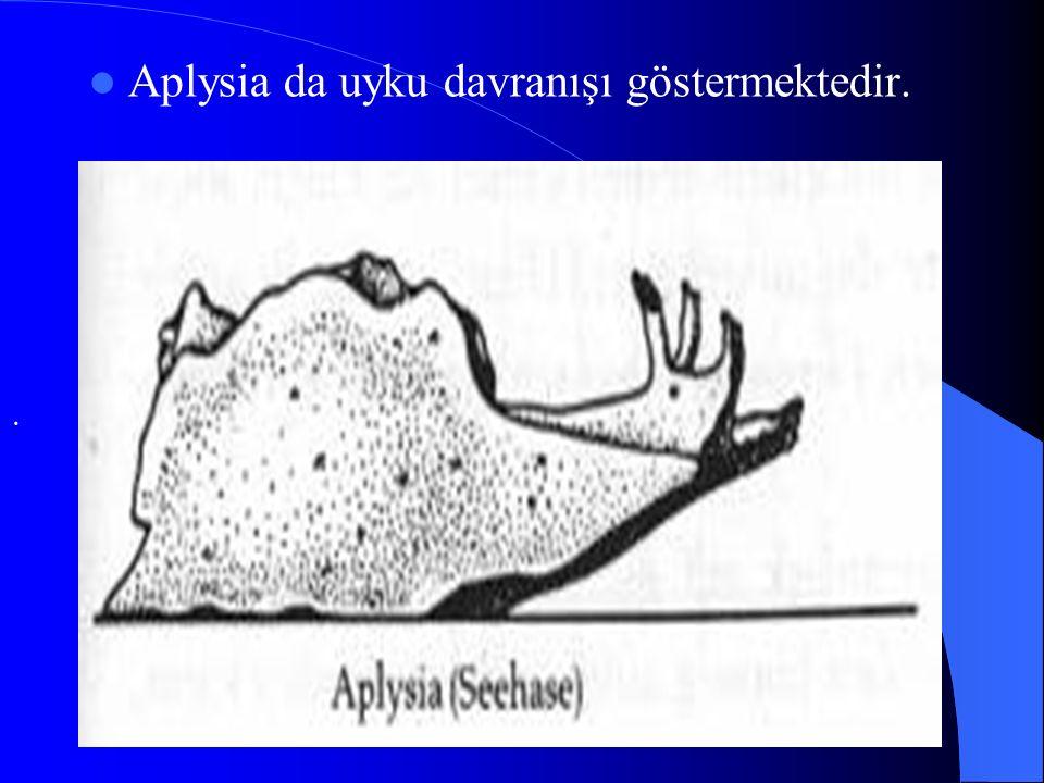 Aplysia da uyku davranışı göstermektedir..