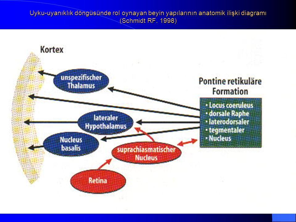 Uyku-uyanıklık döngüsünde rol oynayan beyin yapılarının anatomik ilişki diagramı (Schmidt RF. 1998)
