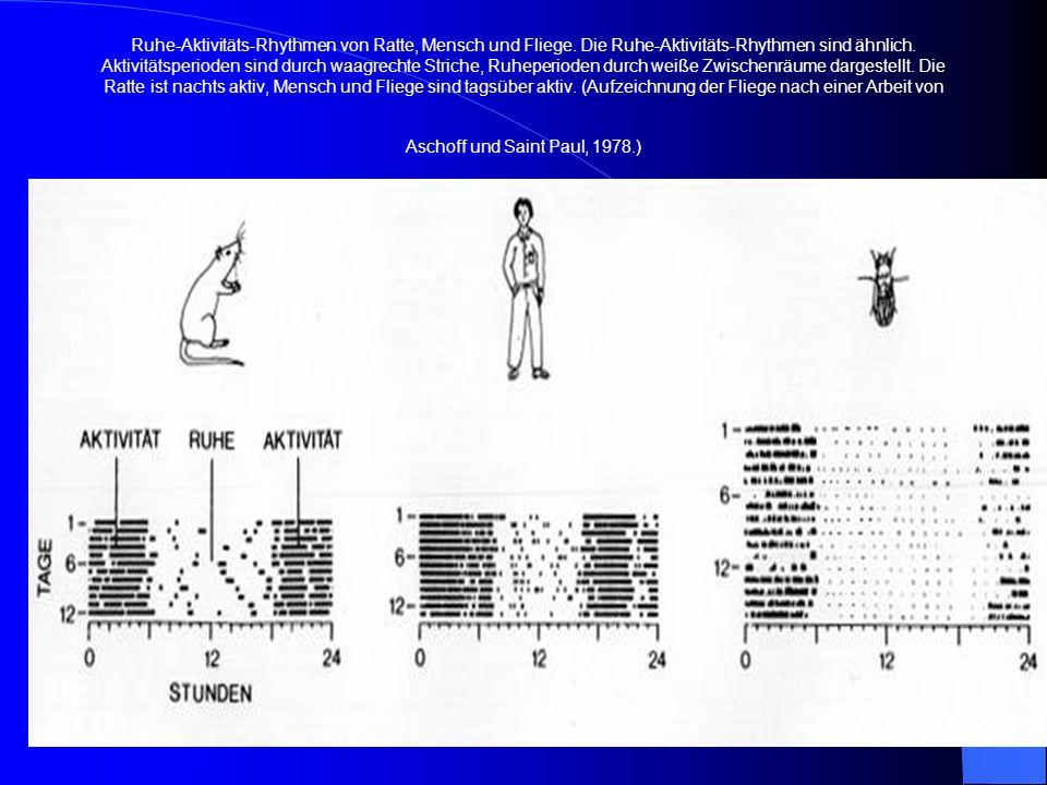Ruhe-Aktivitäts-Rhythmen von Ratte, Mensch und Fliege. Die Ruhe-Aktivitäts-Rhythmen sind ähnlich. Aktivitätsperioden sind durch waagrechte Striche, Ru