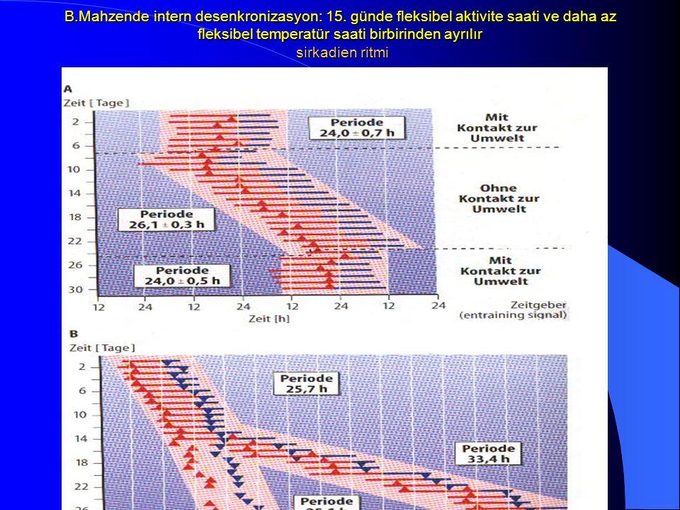 B.Mahzende intern desenkronizasyon: 15. günde fleksibel aktivite saati ve daha az fleksibel temperatür saati birbirinden ayrılır sirkadien ritmi