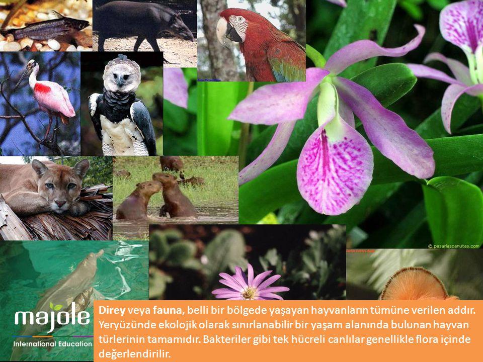 Direy veya fauna, belli bir bölgede yaşayan hayvanların tümüne verilen addır.