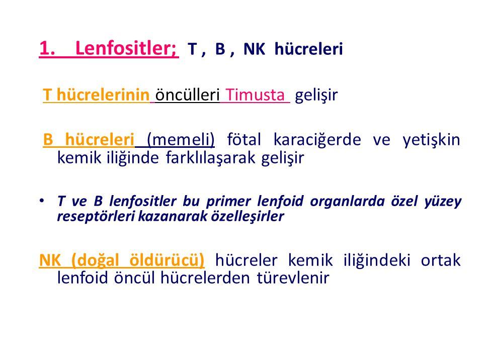 1. Lenfositler; T, B, NK hücreleri T hücrelerinin öncülleri Timusta gelişir B hücreleri (memeli) fötal karaciğerde ve yetişkin kemik iliğinde farklıla