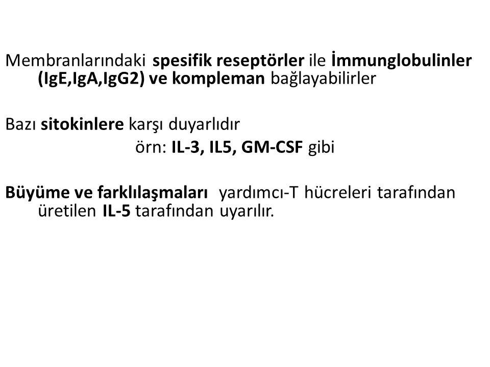 Membranlarındaki spesifik reseptörler ile İmmunglobulinler (IgE,IgA,IgG2) ve kompleman bağlayabilirler Bazı sitokinlere karşı duyarlıdır örn: IL-3, IL5, GM-CSF gibi Büyüme ve farklılaşmaları yardımcı-T hücreleri tarafından üretilen IL-5 tarafından uyarılır.