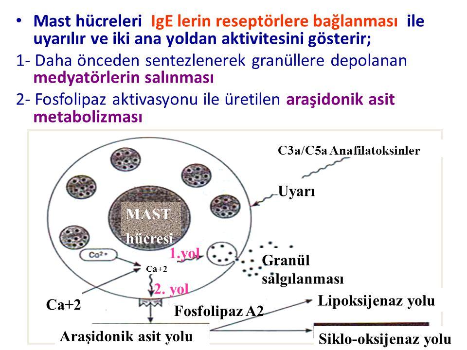 Mast hücreleri IgE lerin reseptörlere bağlanması ile uyarılır ve iki ana yoldan aktivitesini gösterir; 1- Daha önceden sentezlenerek granüllere depolanan medyatörlerin salınması 2- Fosfolipaz aktivasyonu ile üretilen araşidonik asit metabolizması Araşidonik asit yolu Lipoksijenaz yolu Siklo-oksijenaz yolu C3a/C5a Anafilatoksinler Uyarı Granül salgılanması Fosfolipaz A2 Ca+2 MAST hücresi 1.yol 2.