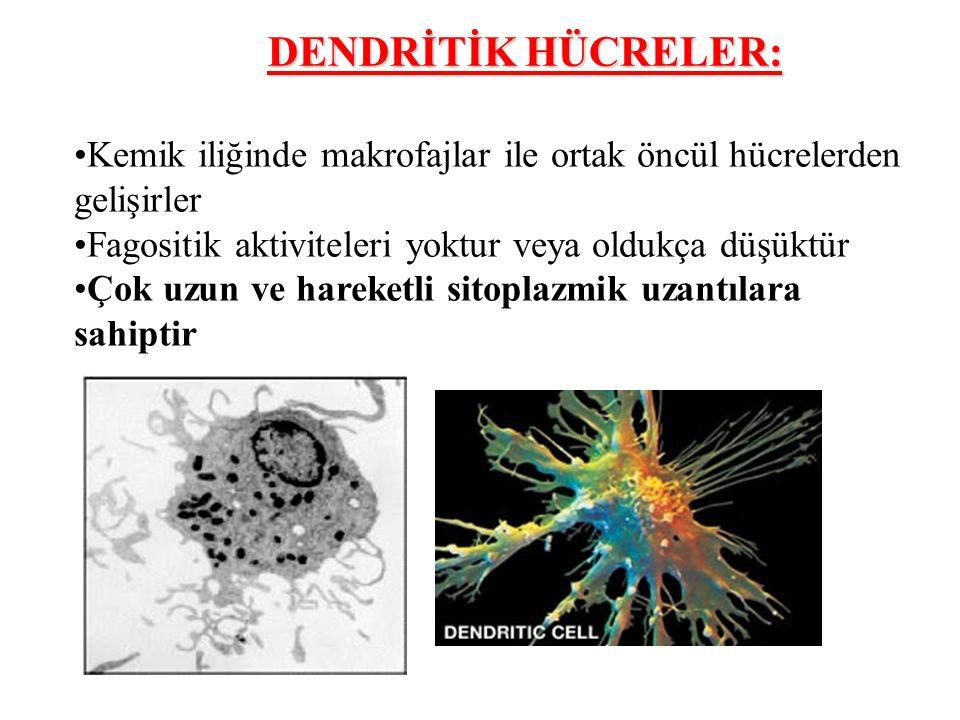 Kemik iliğinde makrofajlar ile ortak öncül hücrelerden gelişirler Fagositik aktiviteleri yoktur veya oldukça düşüktür Çok uzun ve hareketli sitoplazmik uzantılara sahiptir DENDRİTİK HÜCRELER: