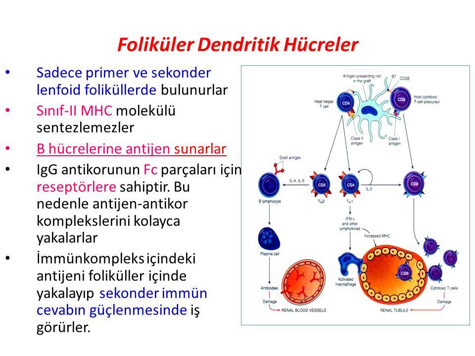 Foliküler Dendritik Hücreler Sadece primer ve sekonder lenfoid foliküllerde bulunurlar Sınıf-II MHC molekülü sentezlemezler B hücrelerine antijen sunarlar IgG antikorunun Fc parçaları için reseptörlere sahiptir.