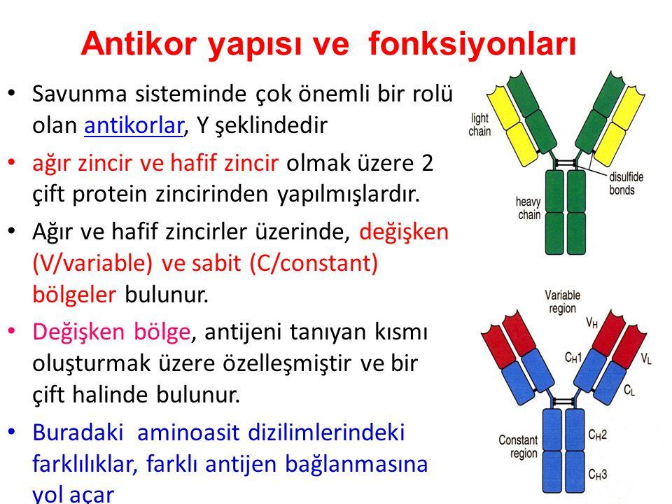 Savunma sisteminde çok önemli bir rolü olan antikorlar, Y şeklindedirantikorlar ağır zincir ve hafif zincir olmak üzere 2 çift protein zincirinden yapılmışlardır.