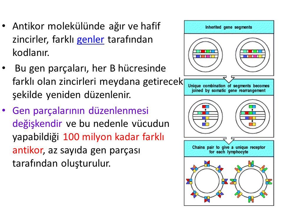 Antikor molekülünde ağır ve hafif zincirler, farklı genler tarafından kodlanır.genler Bu gen parçaları, her B hücresinde farklı olan zincirleri meydana getirecek şekilde yeniden düzenlenir.
