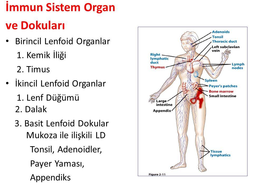 İmmun Sistem Organ ve Dokuları Birincil Lenfoid Organlar 1.