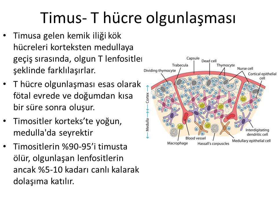 Timus- T hücre olgunlaşması Timusa gelen kemik iliği kök hücreleri korteksten medullaya geçiş sırasında, olgun T lenfositler şeklinde farklılaşırlar.