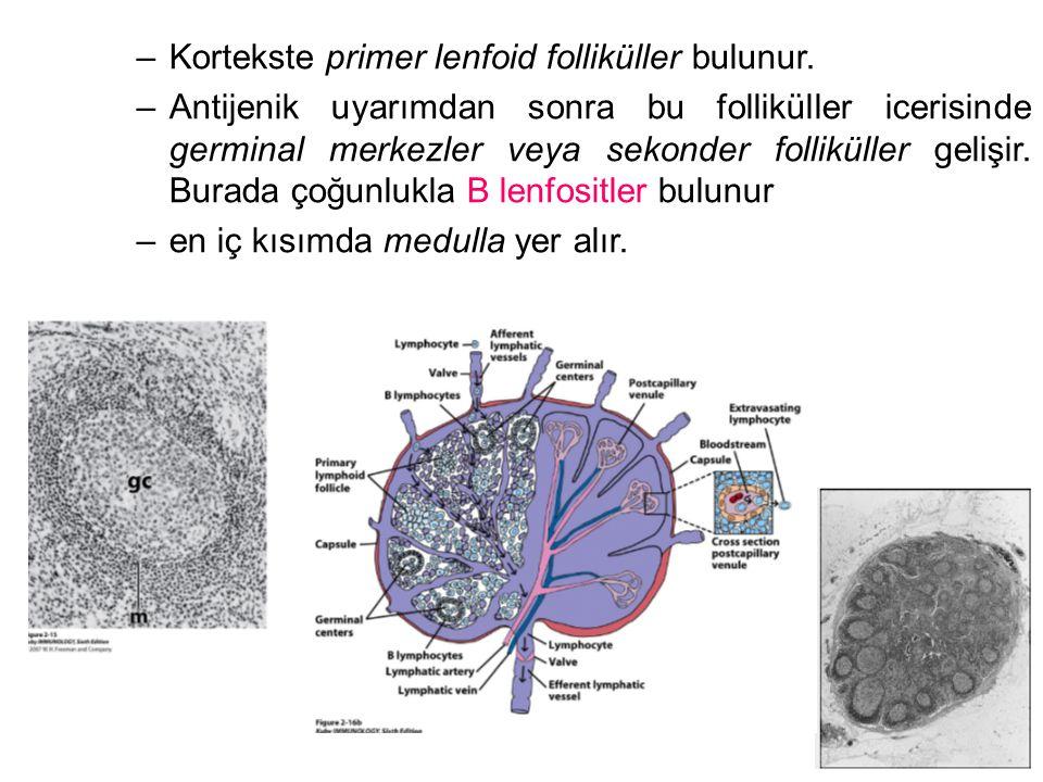 –Kortekste primer lenfoid folliküller bulunur.