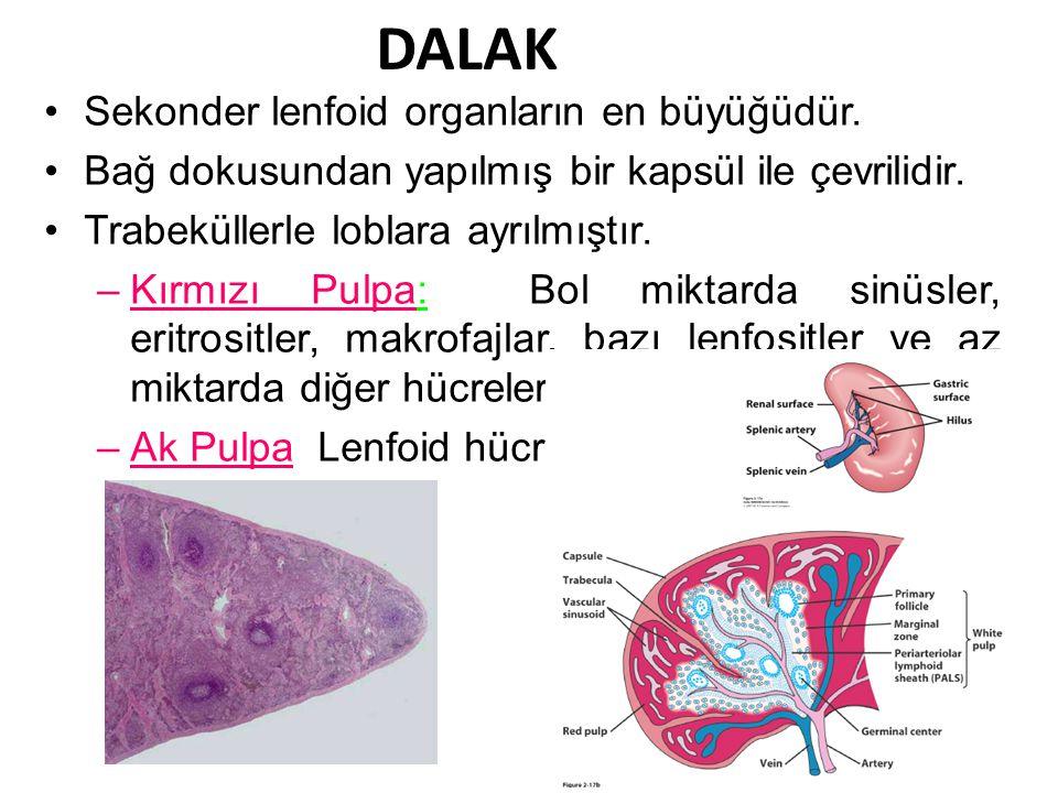 DALAK Sekonder lenfoid organların en büyüğüdür. Bağ dokusundan yapılmış bir kapsül ile çevrilidir.