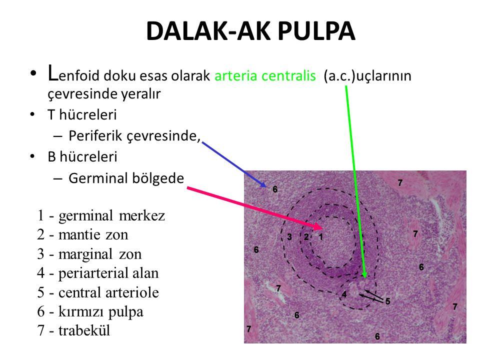 DALAK-AK PULPA L enfoid doku esas olarak arteria centralis (a.c.)uçlarının çevresinde yeralır T hücreleri – Periferik çevresinde, B hücreleri – Germinal bölgede 1 - germinal merkez 2 - mantie zon 3 - marginal zon 4 - periarterial alan 5 - central arteriole 6 - kırmızı pulpa 7 - trabekül