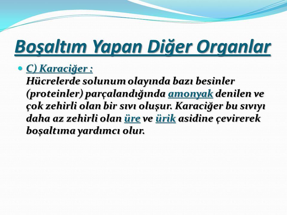 Boşaltım Yapan Diğer Organlar C) Karaciğer : Hücrelerde solunum olayında bazı besinler (proteinler) parçalandığında amonyak denilen ve çok zehirli olan bir sıvı oluşur.