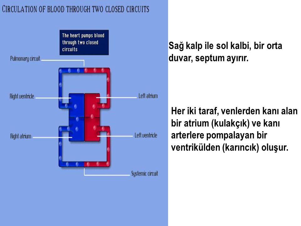 Sağ kalp ile sol kalbi, bir orta duvar, septum ayırır. Her iki taraf, venlerden kanı alan bir atrium (kulakçık) ve kanı arterlere pompalayan bir ventr