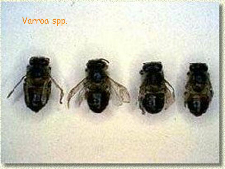 Varroa spp.
