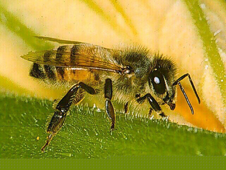 MORFOLOJİ Olgun : Yaklaşık 5-7 mm uzunlukta 3 çift bacaklı ve 2 çift kanatlıdır.