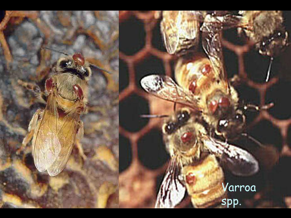 Mum (Petek) Güvesi Etken: Galleria melonella - 3.5 cm., iki çift kanatlı, arkadaki kanatları çatı şeklinde Gelişmesi: - Yumurta- 7 Larva dönemi- Olgun - Larva döneminde petekleri ve balı tahrip ederler.