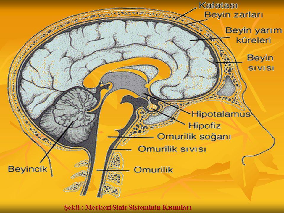 Şekil : Merkezi Sinir Sisteminin Kısımları