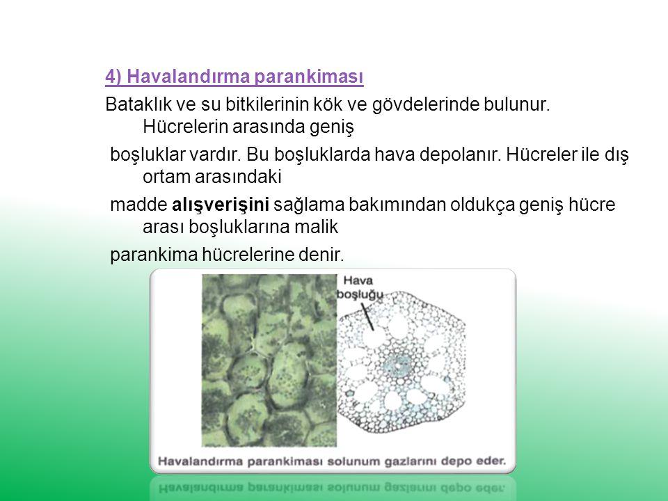 4) Havalandırma parankiması Bataklık ve su bitkilerinin kök ve gövdelerinde bulunur.
