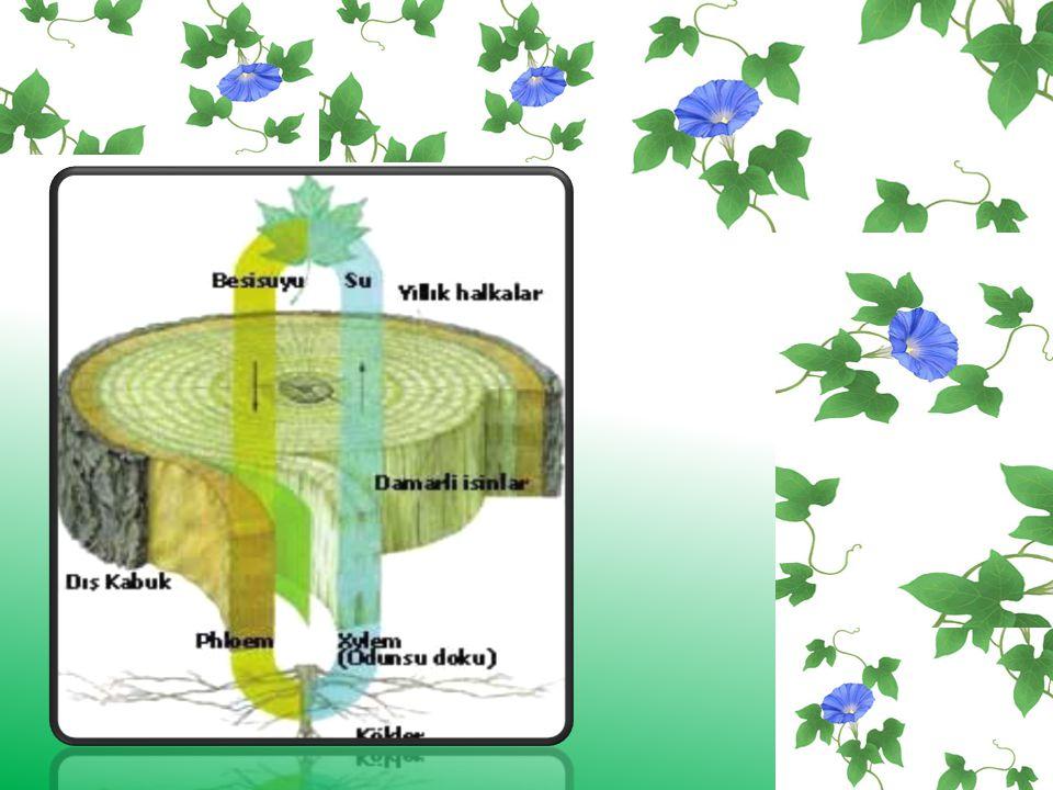 b) Soymuk boruları (floem): Floem dokusu yapraklarda fotosentez işlemi sonucunda meydana gelir. Organik maddeler bitkinin yaşamsal olaylarında kullana