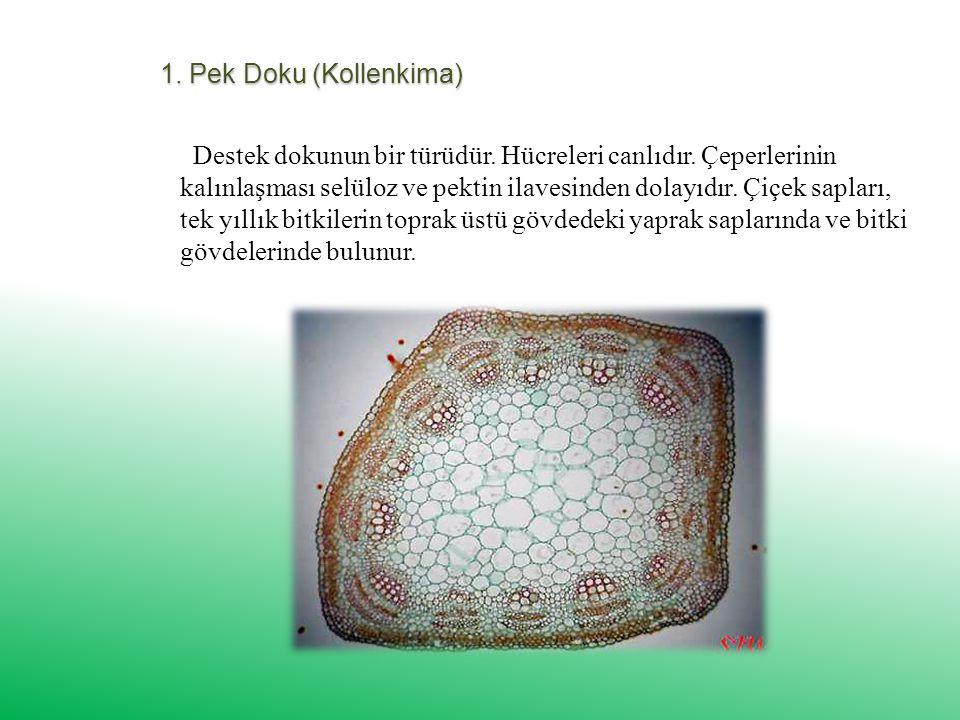 1.Pek Doku (Kollenkima) Destek dokunun bir türüdür.