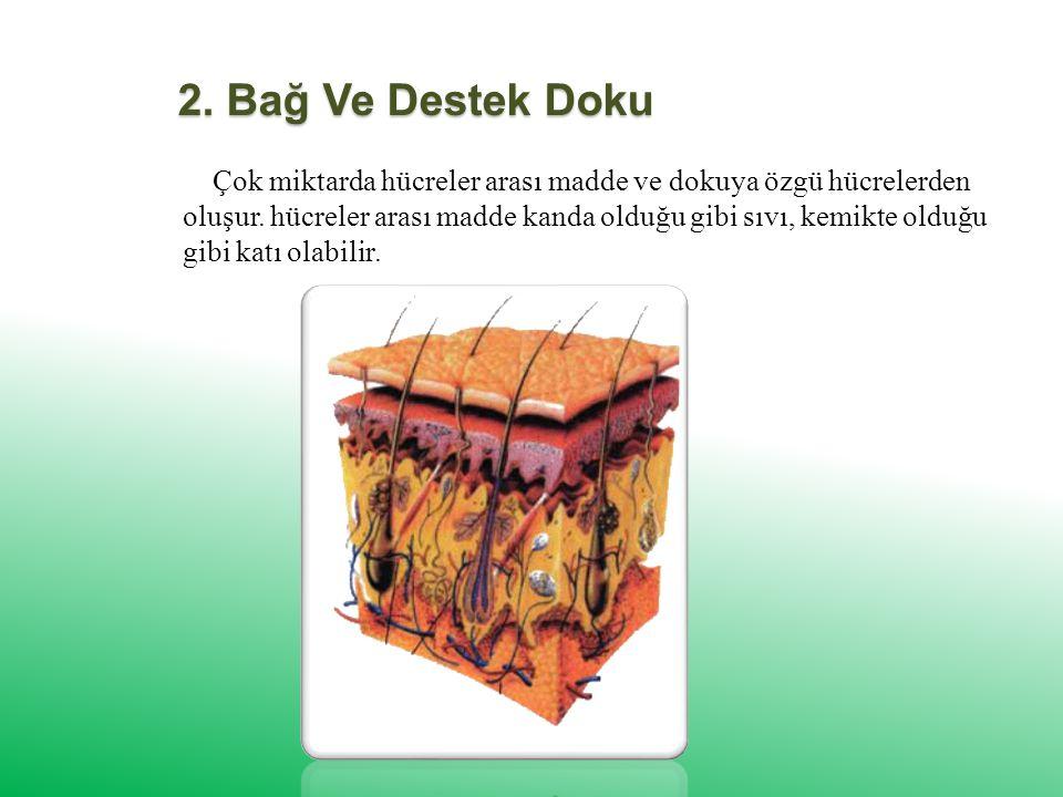 2.Bağ Ve Destek Doku Çok miktarda hücreler arası madde ve dokuya özgü hücrelerden oluşur.