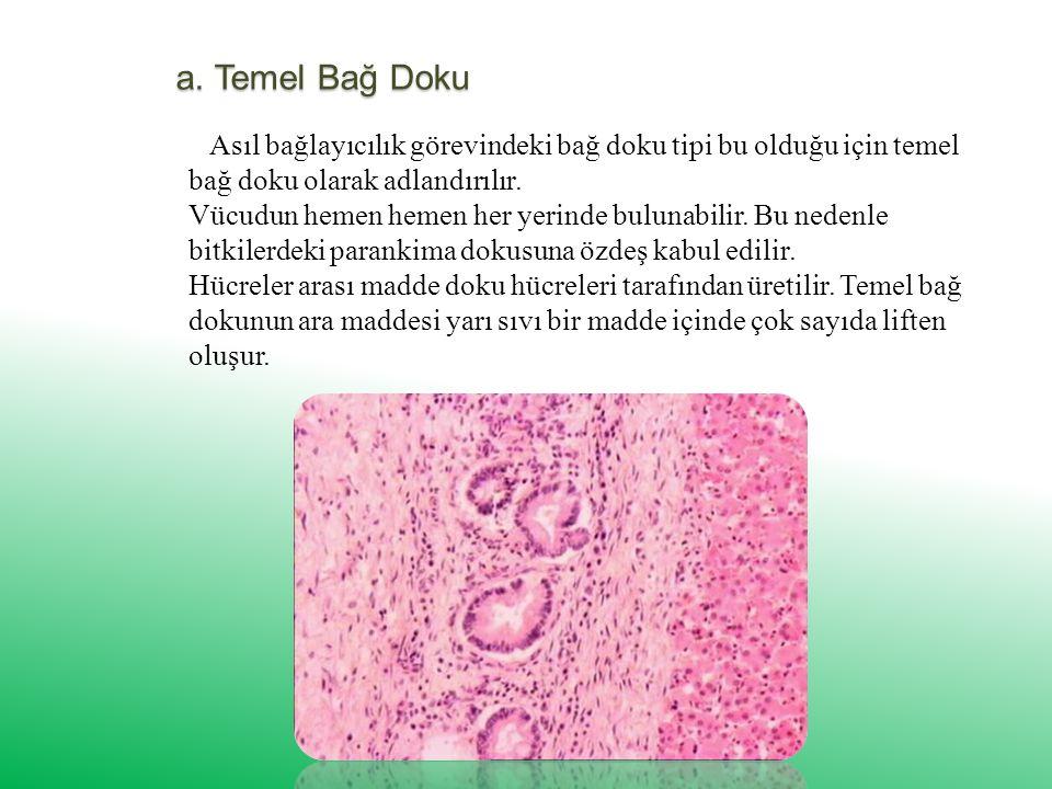 2. Bağ Ve Destek Doku Çok miktarda hücreler arası madde ve dokuya özgü hücrelerden oluşur. hücreler arası madde kanda olduğu gibi sıvı, kemikte olduğu