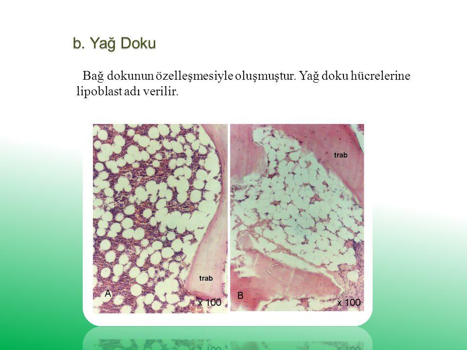 b. Yağ Doku Bağ dokunun özelleşmesiyle oluşmuştur. Yağ doku hücrelerine lipoblast adı verilir.