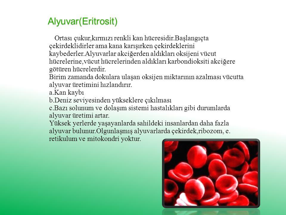 Alyuvar(Eritrosit) Ortası çukur,kırmızı renkli kan hücresidir.Başlangıçta çekirdeklidirler ama kana karışırken çekirdeklerini kaybederler.Alyuvarlar akciğerden aldıkları oksijeni vücut hücrelerine,vücut hücrelerinden aldıkları karbondioksiti akciğere götüren hücrelerdir.