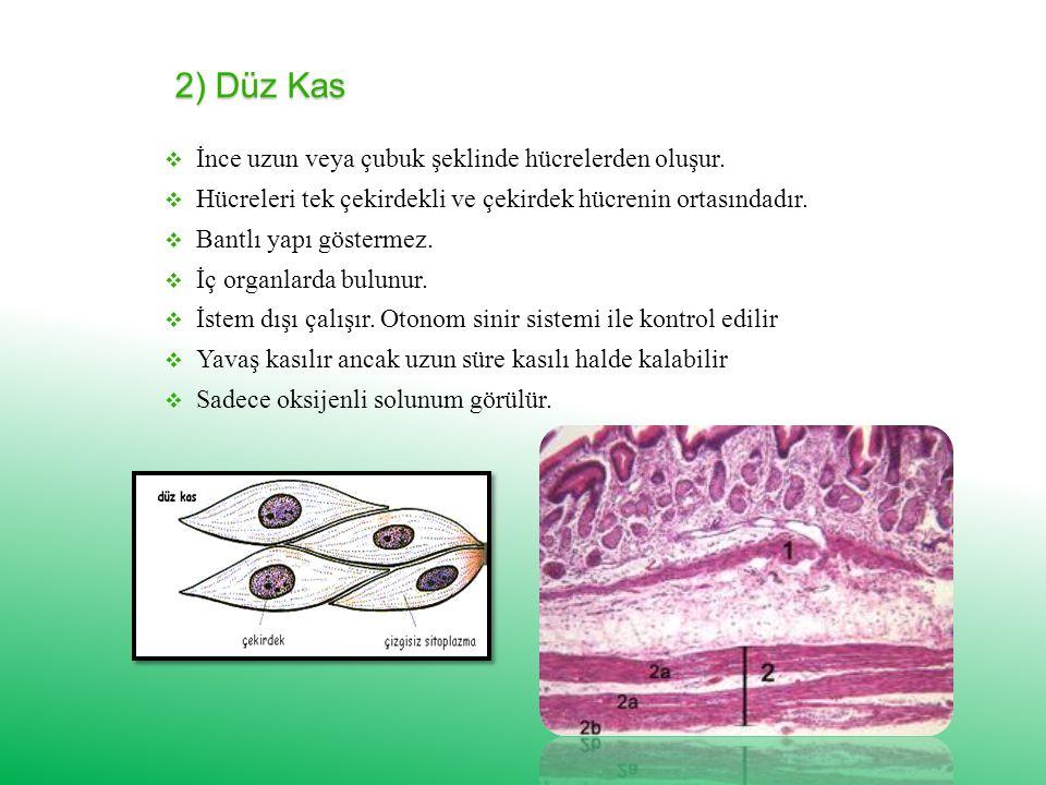 2) Düz Kas İİnce uzun veya çubuk şeklinde hücrelerden oluşur.