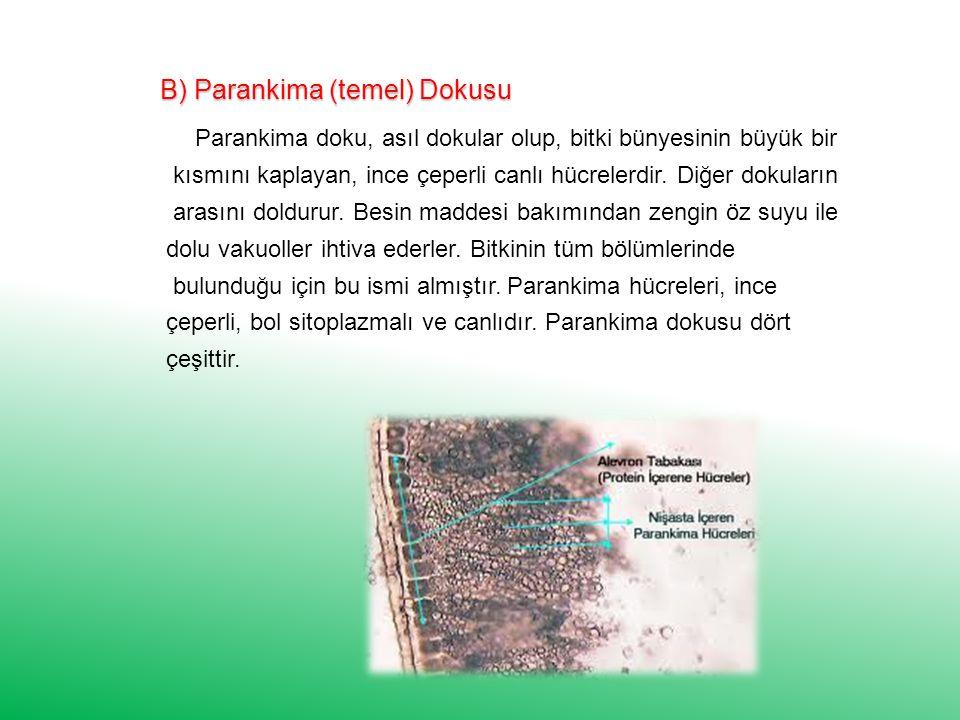 B) Parankima (temel) Dokusu Parankima doku, asıl dokular olup, bitki bünyesinin büyük bir kısmını kaplayan, ince çeperli canlı hücrelerdir.