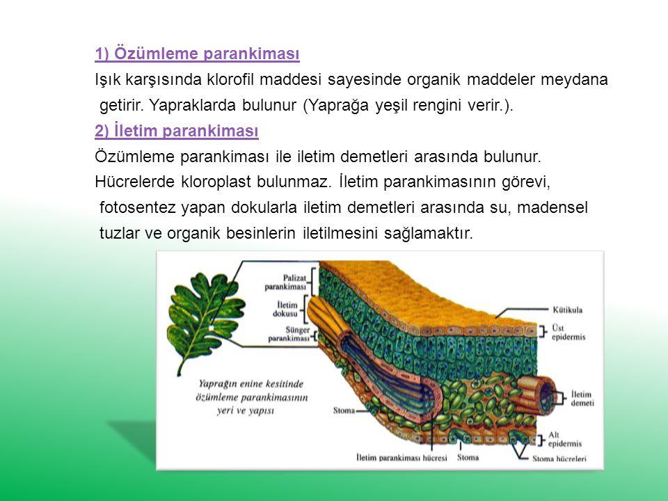 1) Özümleme parankiması Işık karşısında klorofil maddesi sayesinde organik maddeler meydana getirir.