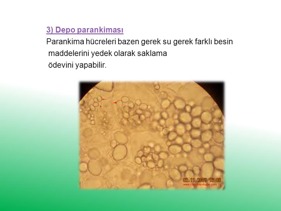 3) Depo parankiması Parankima hücreleri bazen gerek su gerek farklı besin maddelerini yedek olarak saklama ödevini yapabilir.