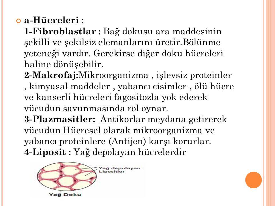 a-Hücreleri : 1-Fibroblastlar : Bağ dokusu ara maddesinin şekilli ve şekilsiz elemanlarını üretir.Bölünme yeteneği vardır. Gerekirse diğer doku hücrel