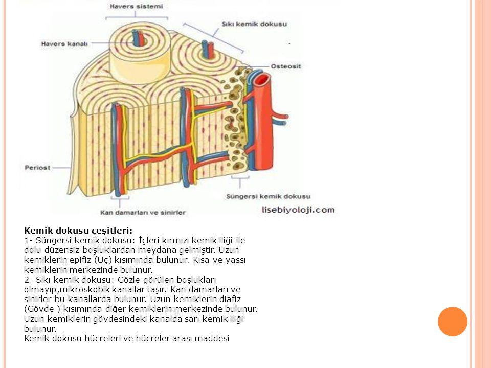 Kemik dokusu çeşitleri: 1- Süngersi kemik dokusu: İçleri kırmızı kemik iliği ile dolu düzensiz boşluklardan meydana gelmiştir. Uzun kemiklerin epifiz