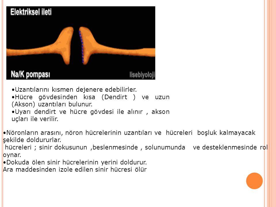 Uzantılarını kısmen dejenere edebilirler. Hücre gövdesinden kısa (Dendirt ) ve uzun (Akson) uzantıları bulunur. Uyarı dendirt ve hücre gövdesi ile alı