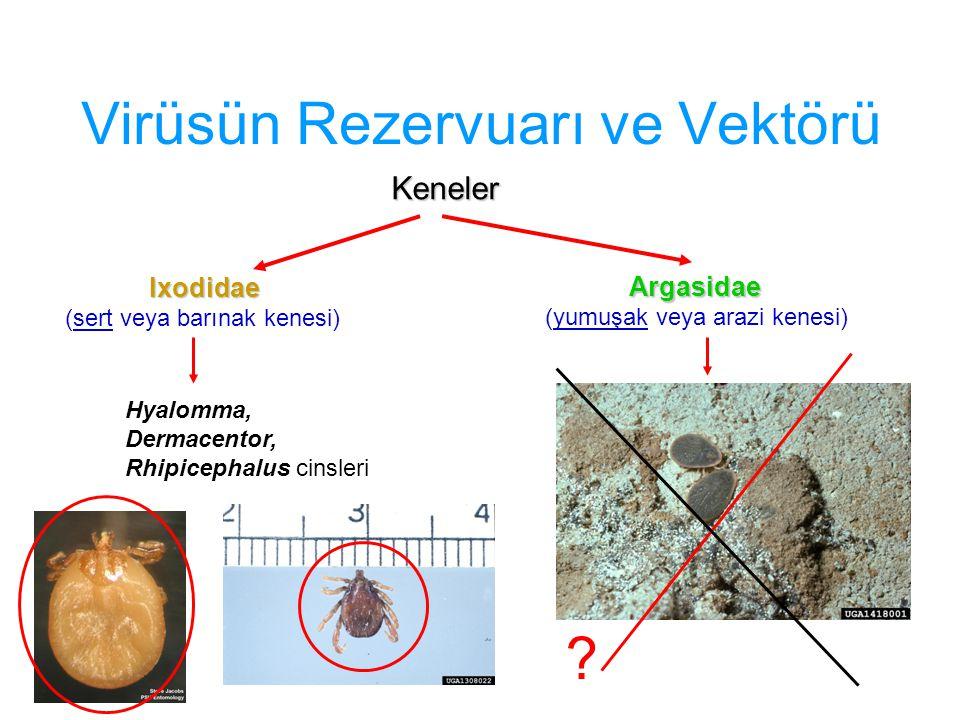 Virüsün Rezervuarı ve Vektörü Keneler Ixodidae (sert veya barınak kenesi) Argasidae (yumuşak veya arazi kenesi) Hyalomma, Dermacentor, Rhipicephalus c