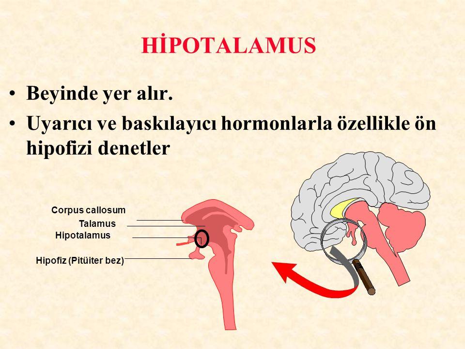 HİPOTALAMUS Beyinde yer alır. Uyarıcı ve baskılayıcı hormonlarla özellikle ön hipofizi denetler Hipofiz (Pitüiter bez) Corpus callosum Hipotalamus Tal