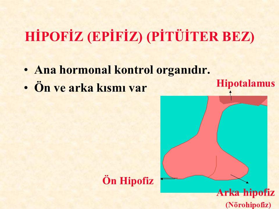 HİPOFİZ (EPİFİZ) (PİTÜİTER BEZ) Ana hormonal kontrol organıdır. Ön ve arka kısmı var Ön Hipofiz Arka hipofiz Hipotalamus (Nörohipofiz)