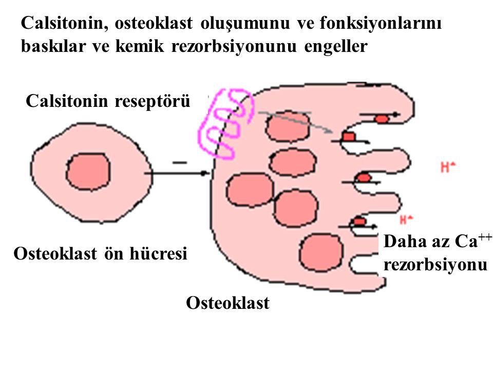 Calsitonin, osteoklast oluşumunu ve fonksiyonlarını baskılar ve kemik rezorbsiyonunu engeller Calsitonin reseptörü Osteoklast ön hücresi Osteoklast Da