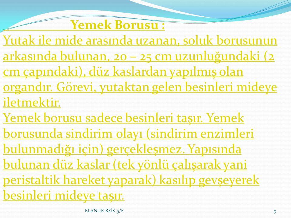 Yemek Borusu : Yutak ile mide arasında uzanan, soluk borusunun arkasında bulunan, 20 – 25 cm uzunluğundaki (2 cm çapındaki), düz kaslardan yapılmış olan organdır.