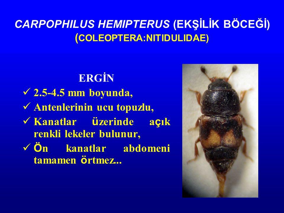 CARPOPHILUS HEMIPTERUS (EKŞİLİK BÖCEĞİ) ( COLEOPTERA:NITIDULIDAE) ERGİN 2.5-4.5 mm boyunda, Antenlerinin ucu topuzlu, Kanatlar ü zerinde a ç ık renkli lekeler bulunur, Ö n kanatlar abdomeni tamamen ö rtmez...