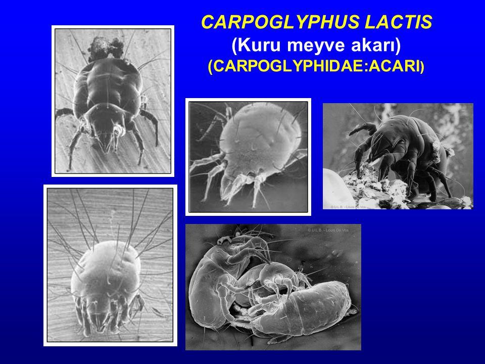 CARPOGLYPHUS LACTIS (Kuru meyve akarı) (CARPOGLYPHIDAE:ACARI )