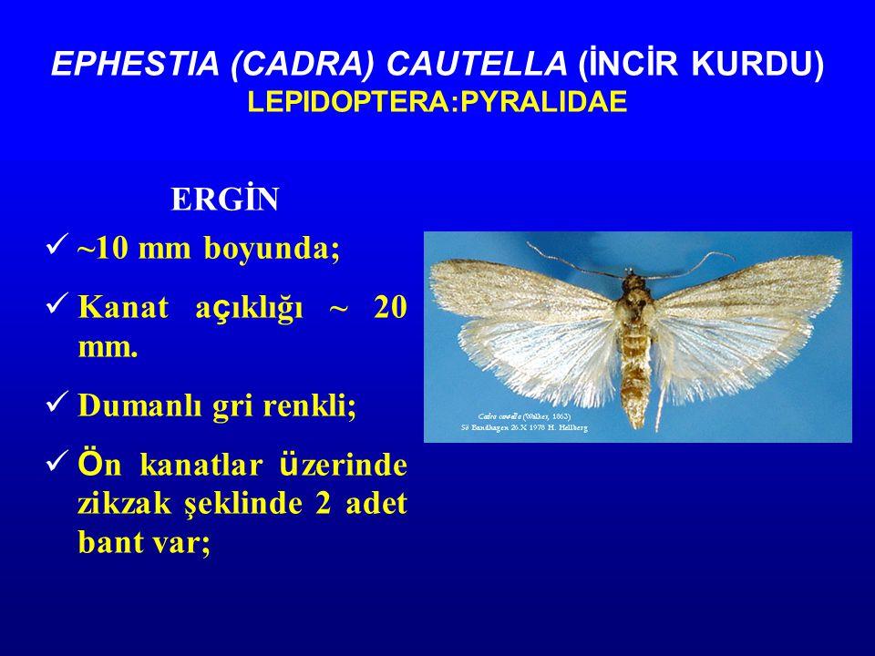EPHESTIA (CADRA) CAUTELLA (İNCİR KURDU) LEPIDOPTERA:PYRALIDAE ERGİN ~10 mm boyunda; Kanat a ç ıklığı ~ 20 mm.
