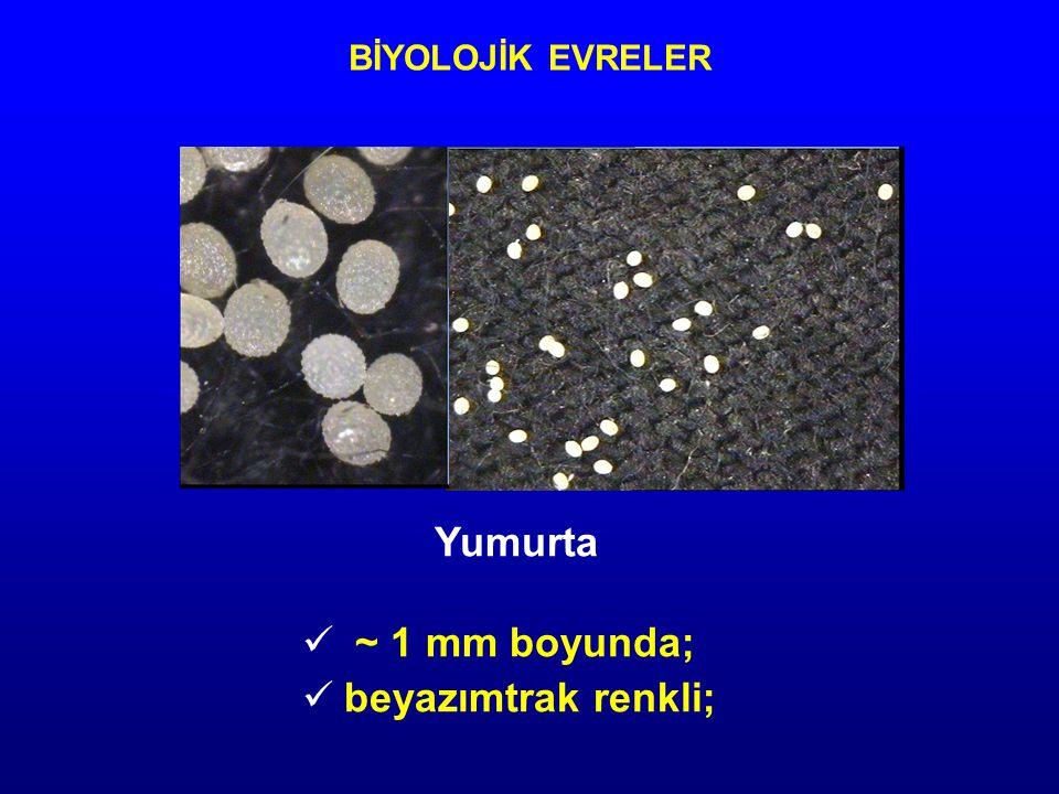 BİYOLOJİK EVRELER Yumurta ~ 1 mm boyunda; beyazımtrak renkli;