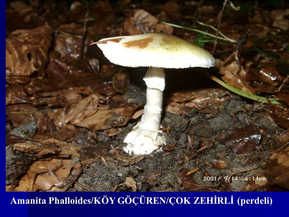 Amanita Phalloides/KÖY GÖÇÜREN/ÇOK ZEHİRLİ (perdeli)