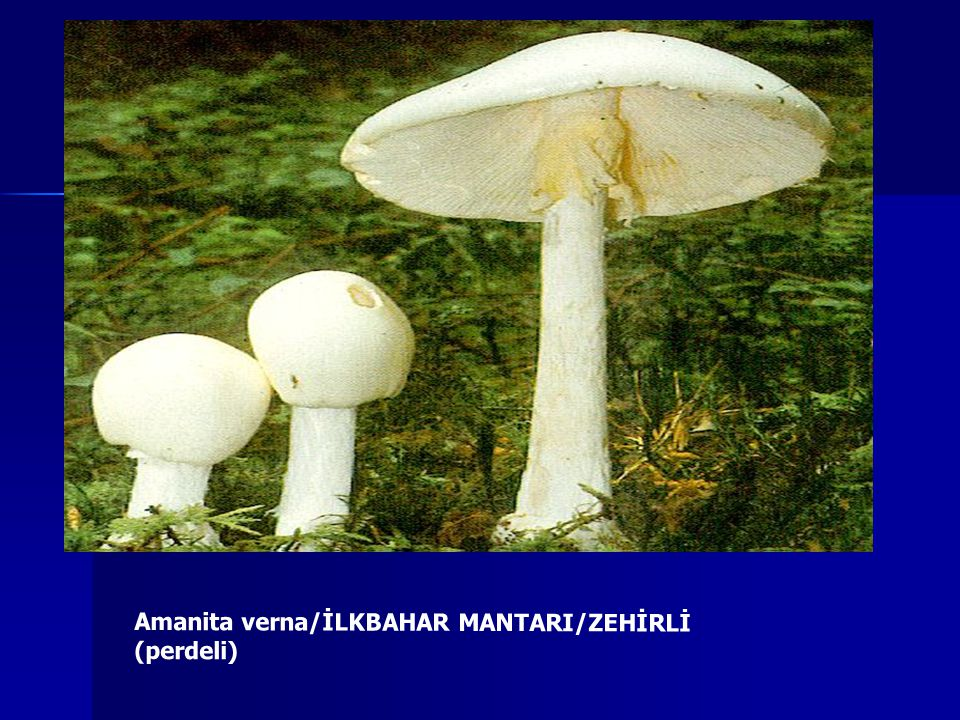 Amanita verna/İLKBAHAR MANTARI/ZEHİRLİ (perdeli)