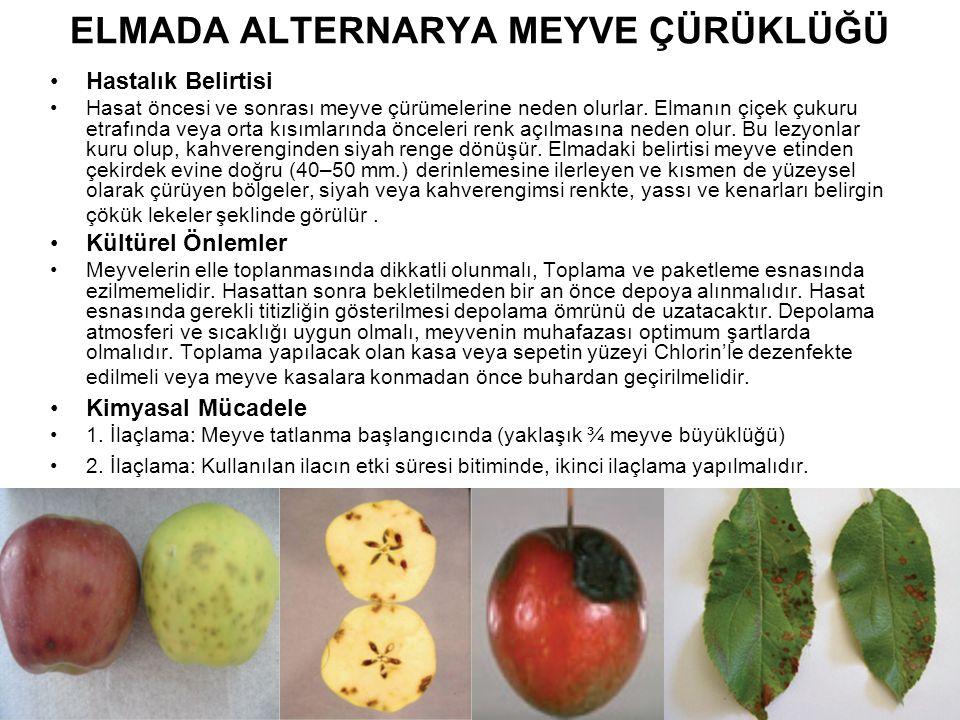 ELMADA ALTERNARYA MEYVE ÇÜRÜKLÜĞÜ Hastalık Belirtisi Hasat öncesi ve sonrası meyve çürümelerine neden olurlar. Elmanın çiçek çukuru etrafında veya ort