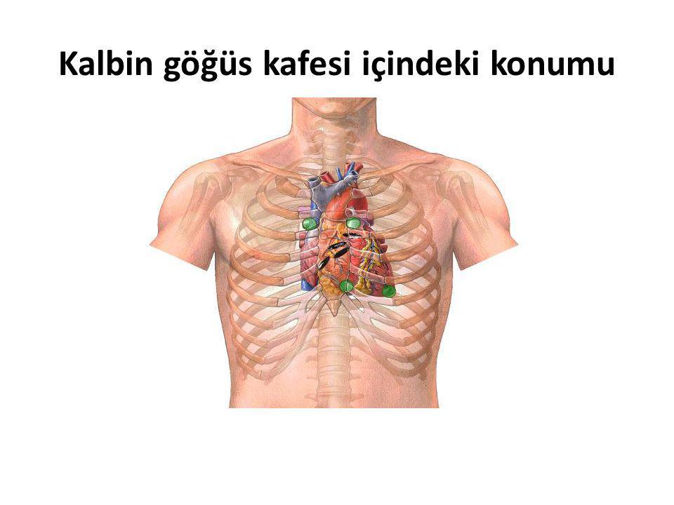 Kalbin göğüs kafesi içindeki konumu
